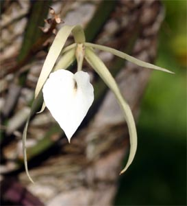 The white flowers of Brassavola nodosa produce a lovely fragrance in the evening.