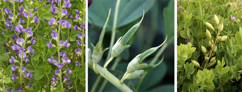 After the flowers fade, pods form if pollinated (C). The rounded, inflated pods (R) have ornamental interested if left on the plants.