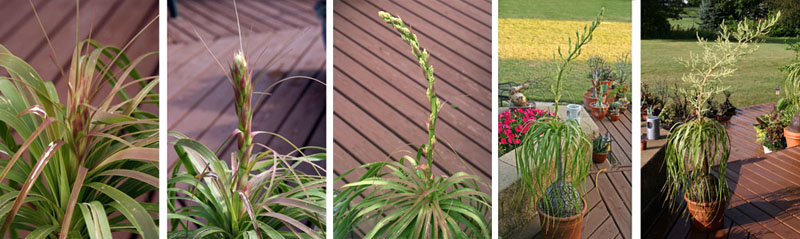 Bloom sequence of a potted ponytail palm.