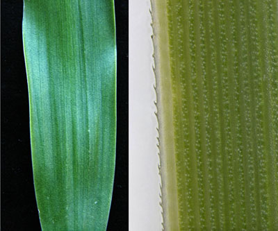 The leaves of the common ponytail palm, B. recurvata, may look smooth, but actually have sharp teeth that are seen only under magnification (right). These are tiny, soft and forgiving; other species have leaf edges that can draw blood if handled carelessly.