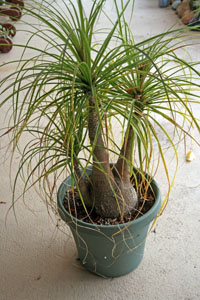 Grow ponytail palm in well-drained soil mix