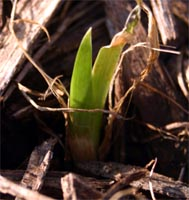 A blackberry lily seedling.