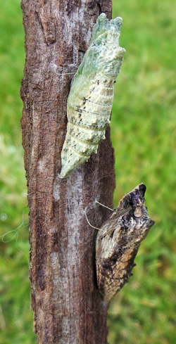 The pupa may be green or brown to blend in with its surroundings.
