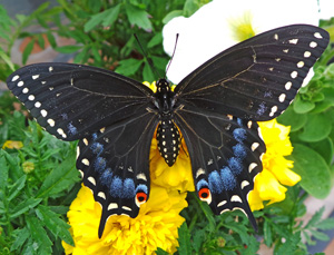 The female black swallowtail has more blue and less yellow on the wings.