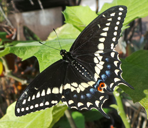 The male blackswallowtail has more noticable yellow and less blue on the wings.