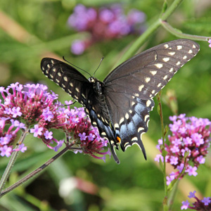 Black swallow tail is a common butterfly thoughout eastern North America.