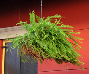Boston fern is ideally suited for growing in a hanging basket.