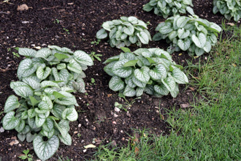 Jack Frost as an edging plant along a shady border.