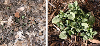 Jack Frost emerging in early spring (L) and new foliage in mid-spring (R).