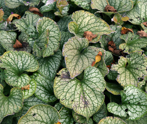 Leaves may become slightly tattered later in the season.