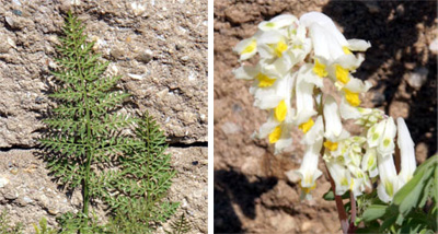 Leaves of C. cheilanthifolia (L) and flowers of C. ochroleuca (R).