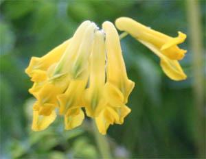 C. lutea flowers.