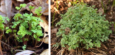 The finely cut foliage emerging in spring (L) and a young plant (R).