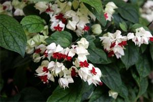 Bleeding heart vine, Clerodendrum thomsoniae, in bloom.