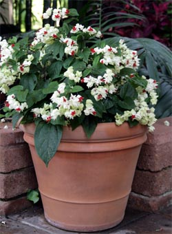 Clerodendrum thomsoniae is easily grown in containers