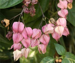 The old flowers turn a pink or lavender color.