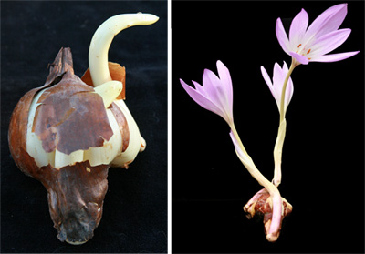 The large, bulb-like corm of Colchicum speciosum (L). Bulbs often will produce flowers without even being planted.