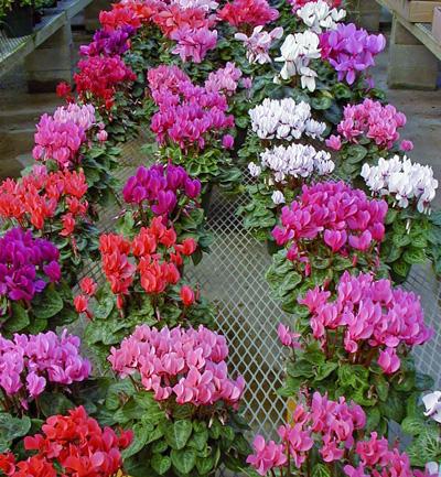 Cyclamen Wisconsin Horticulture