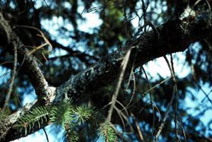 Close-up of a bleeding branch.