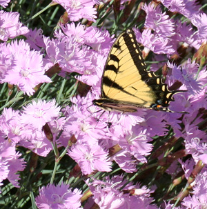 The fragrant flowers are attractive to butterflies.