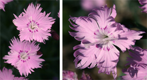 One inch, fringed pink flowers cover the plants in spring.