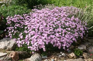 Dianthus 'Bath's Pink'