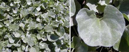 'Silver Falls dichondra has silvery fan-shaped leaves.