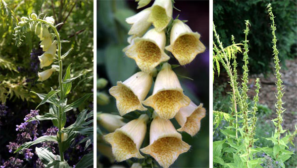 The pale yellow flowers of Digitalis grandiflora are borne on a long stem, followed by seed pods.