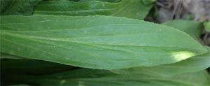 The leaves are lance-shaped with fine teeth.