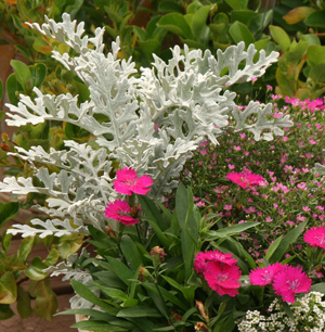 Many cultivars offer a fine texture to contrast with other plants.