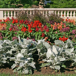 Dusty miller is a commonly used as an annual bedding plant.