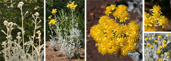 Buds (L) and flowers (R) of blooming dusty miller (CL).