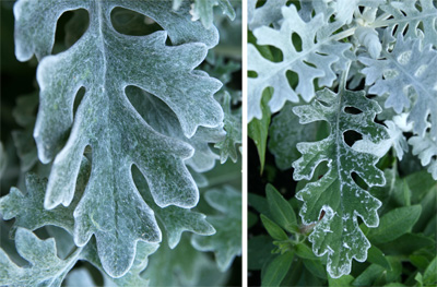 The leaves are covered with fine hairs giving a felted or wooly appearance, which changes when wet (R).