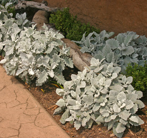 Dusty miller is heat and drought tolerant.