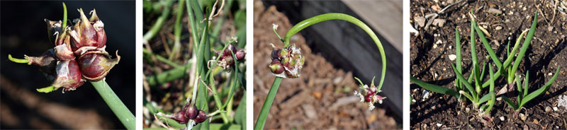 The bulbils form on the ends of the spikes (L) and begin to grow small plantlets (LC) which may form another spike with more bulbils (RC) or will root and form new plants if they fall on or are place in the ground (R).
