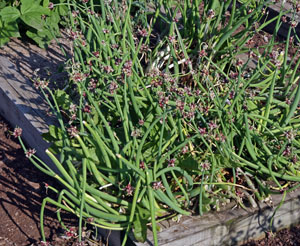 A bed of Egyptian walking onions with bulbils.