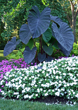 Grow dark-leaved varieties in full sun for best color.