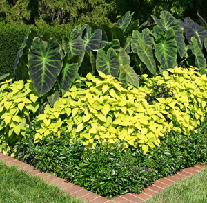Elephant ears pair well with other foliage plants.