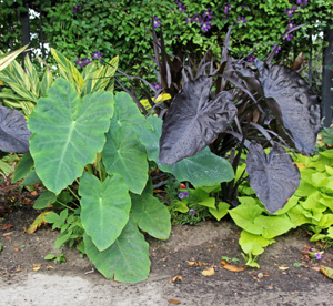 In cooler climates elephant ears are grown for their large leaves.