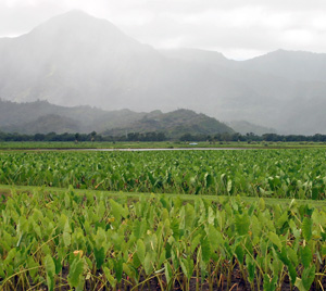 Fields of taro, Colocasia esculenta, in Hawaii.