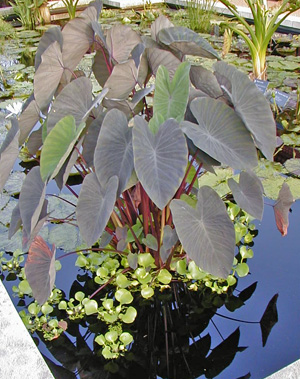Dark-leaved elephant ear growing in a water garden.
