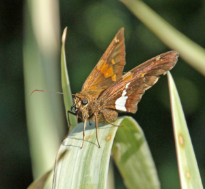 The silver-spotted skipper is chocolate brown with white and gold markings.