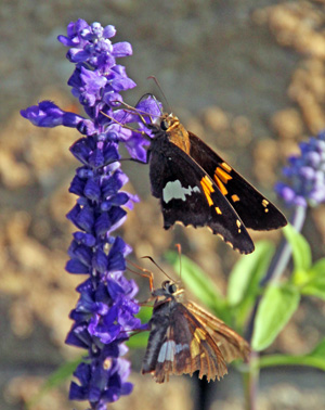 Two silver-spotted skippers nectaring on blue mealy sage flowers.