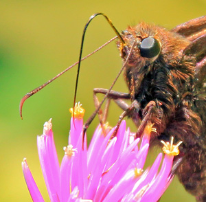 Skippers have large eyes and antennae with hooked clubs on the end.