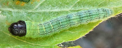 Young caterpillar of silver-spotted skipper.