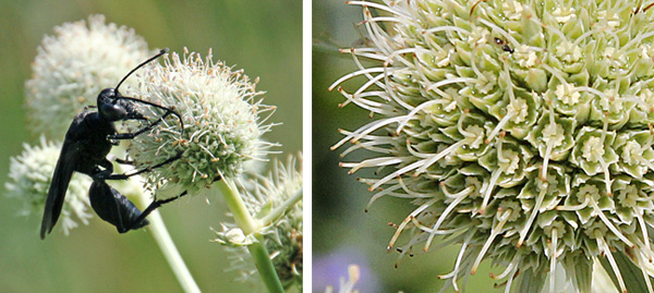 The spherical flower heads have many tiny white flowers that are attractive to insects