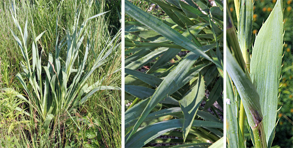 The foliage is primarily a basal rosette (L). The narrow, sword-shaped leaves (C) have bristly or spiny margins (R)