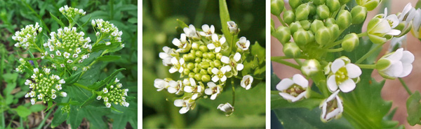 Flowers are produced in a dense raceme (L), with numerous flowers in each head (C) each with four petals (R).