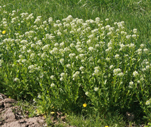 Field pennycress is a common weed of cultivated areas.