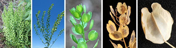 Field pennycress produces distinctive seed pods (L) in a single or branched raceme (LC) with flat, winged silicles that change from green (C) to tan (RC and R, closeup of a single silicle) as they dry.